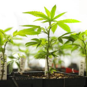 marijuana-image2